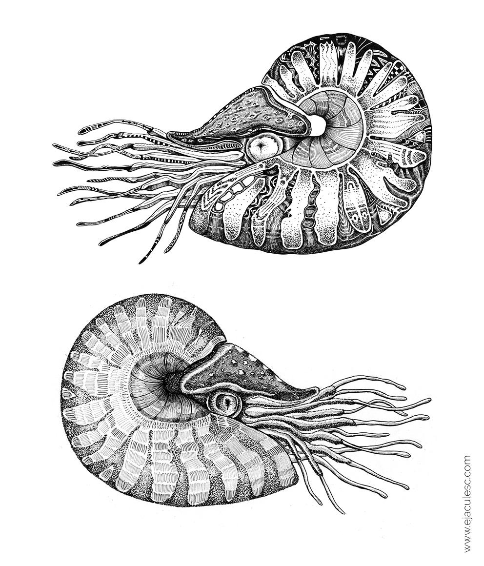 nautilus rebexi